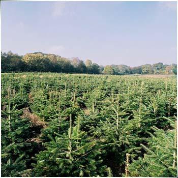 Nordmanntanne Weihnachtsbaum.Die Nordmanntanne Als Weihnachtsbaum Immer Beliebter Auch In Hamburg